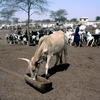 Horned cattle by the well of Mbidi