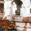 A cow in a temple at Hampi