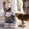 A cow in the Virupaksha Temple complex at Hampi built in honour of the goddess