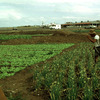 Vegetable fields, farm worker