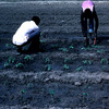 Experimental area, farm workers at work