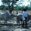 Artificial insemination, field, cattle rearing