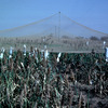 Farming experimental area for maize, nets over fields