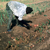 Potatoes growing, farmer collecting potatoe crop