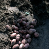 Potatoes growing, crop, field