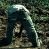 Potatoes growing, farmer working in the filed