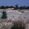 Experimental agricultural area, corn field, harvest