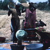 Experimental agricultural area, farmers pouring corn in basins