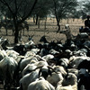 Cattle rearing, herd
