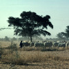 Cattle rearing, herd , savanna