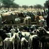 Cattle rearing, goats, horned cattle