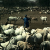 Cattle rearing, horned cattle, shepherd