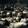 Cattle rearing, horned cattle