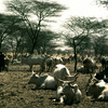 Cattle rearing, horned cattle, shepherds