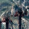 Agtricultural institute, palmtree, date-palm