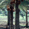 Agricultural institute, dates-palm