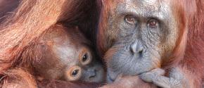 Mother Chil orangutan Abelii in Guneug Leuser Biosphere Reserve