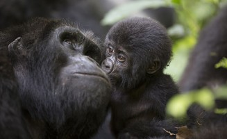 Baby mountain gorilla and mother