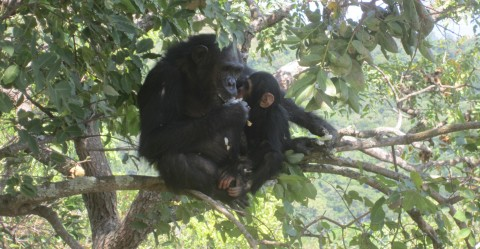 Mother and child chimpanzees in the Biosphere Reserve of Gombe Masito Ugalla in Tanzania