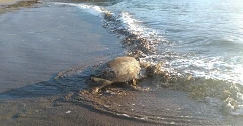 Turtles joining see in Mwali Biosphere Reserve, Comoros