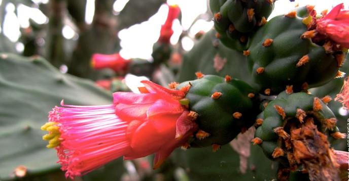 Nopal flowers