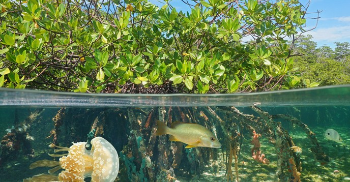 Mangrove ecosystems are rich in biodiversity, above and below water.